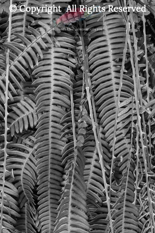 Deer Fern, new and old leaves