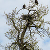 Bald Eagle pair in spring