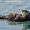 Sea Otter female with pup in Prince William Sound near Cordova, Alaska