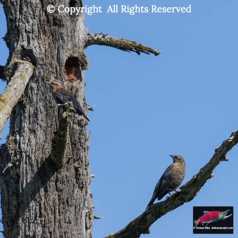 Rusty blackbirds perched in dead tree