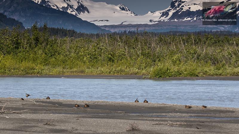 Dusky Canada Geese resting