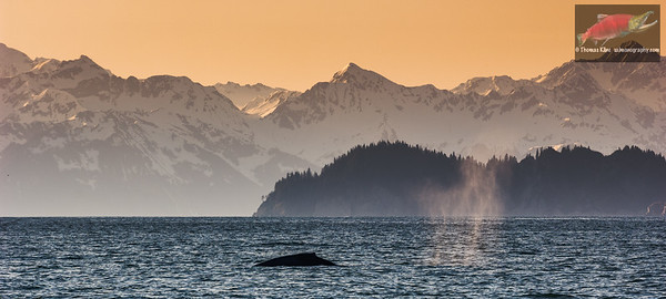 Humpback Whale surfacing in Prince William Sound, Alaska