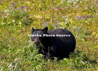 Alaska. Black Bear (Ursus americanus) feeding on tundra grasses,  Kenai Fjords National Park.