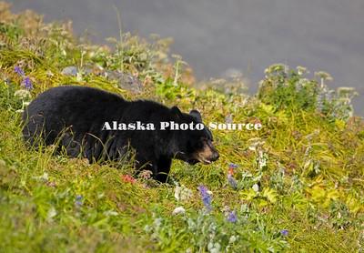 Alaska. Black Bear (Ursus americanus), Kenai Fjords National Park.