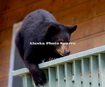 Alaska. Black Bear (Ursus americanus) on railing of 2nd story balcony, Anchorage.