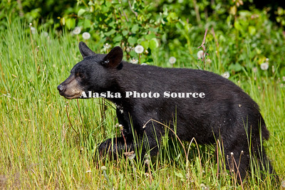 Alaska. Black Bear (Ursus americanus) foraging through an east Anchorage neighborhood.