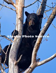 Alaska. Black Bear (Ursus americanus)  climbing in a cottenwood tree, Alaska Wildlife Conservation Center.