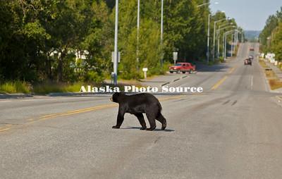 Alaska. Black Bear (Ursus americanus) yearling crossing an east Anchorage neighborhood road.