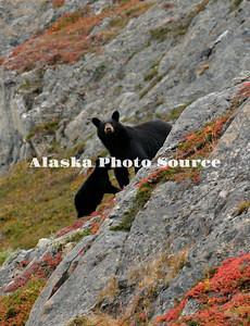 Alaska. Black Bear (Ursus americanus)  with cub eating tundra berries overlooking Exit Glacier, Kenai Fjords National Park.