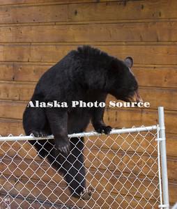 Alaska. Black Bear (Ursus americanus)  on chainlink fence, Anchorage.