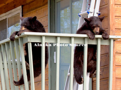 Alaska. Black Bear (Ursus americanus) cubs hanging on railing of 2nd story balcony, Anchorage.