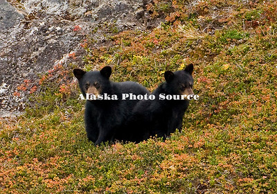 Alaska. Black Bear (Ursus americanus) cubs feeding on tundra berries, overlooking Exit Glacier, Kenai Fjords National Park.