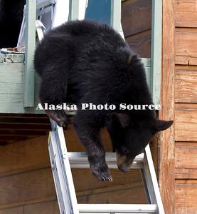 Alaska. Black Bear (Ursus americanus) cub climbing down extension ladder, Anchorage.