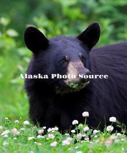 Alaska. Black Bear (Ursus americanus) munching on white clover, Anchorage.