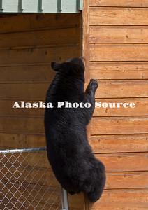 Alaska. Black Bear (Ursus americanus) climbing corner of house, Anchorage.