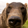 Brown Bear with exaggerated nose for effect, Alaska Wildlife Conservation Center.