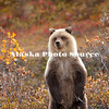Alaska. Brown Bear (Ursus arctos) cub looking for trouble, Denali Natl. Park.