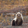 Alaska. Brown Bear (Ursus arctos) yearling cub, Denali Natl. Park.