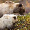 Alaska. Brown Bear (Ursus arctos) sow with cub feeding on soap berries, Denali Natl. Park.