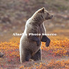 Alaska. Brown Bear (Ursus arctos) sow with yearling cub on alert on the autumn tundra, Denali National Park.