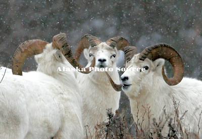 Alaska. Dall Sheep Rams, Chugach Mountains.