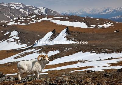 Alaska. Dall Sheep Ram (Ovis dalli)  on a mounatin plateau of melting snow during mid-May, Denali National Park.