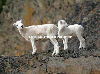 Alaska. Dall Sheep (Ovis dalli) ewe with lamb, Chugach Mountains.