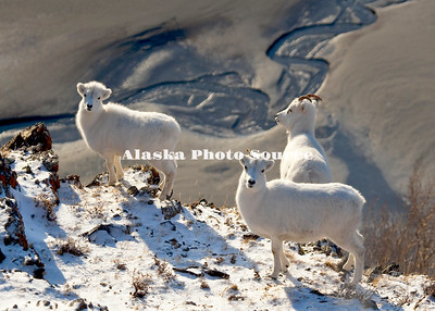 Alaska. Dall sheep (Orvis dalli) looking for forage on the mountain plateaus along Turnagain Arm, Chugach State Park.