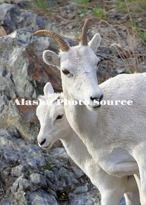Alaska. Dall sheep (Orvis dalli) ewe with lamb emjoying some sun after a summer rain, Chugach Satate Park. Park.