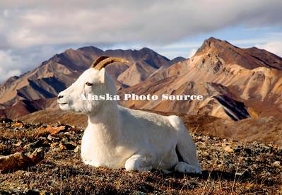 Dall sheep ewe in Polychrome Mountains of Denali Natl. Park.