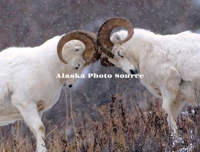 Alaska. Dall Sheep (Ovis dalli) battling over ewes during the rutting season, Chugach Mountains.