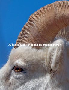 Alaska. Close portrait of a Dall sheep (Orvis dalli) full curl ram.