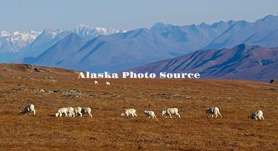 Alaska. Dall Sheep (Ovis dalli) grazing the autumn tundra above the Savage River, Denali National Park.