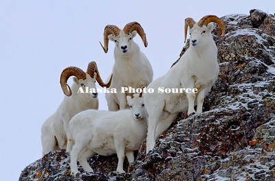 Alaska, Dall Sheep (Orvis dalli) full curl rams protective of a ewe in the snowy mountains of Chugach State Park, Turnagain Arm.