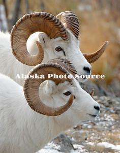Alaska. Dall Sheep (Ovis dalli) rams in profile, Chugach Mountains.