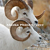 Alaska. Dall Sheep (Ovis dalli) rams in profile, Chugach Mountains.