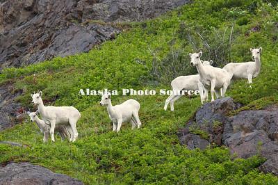 Alaska. Dall Sheep (Ovis dalli) in the lush summer mountains of Chugach State Park, along the Seward Highway.