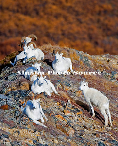 Alaska. Dall sheep (Orvis dalli) rams basking in the autumn sun in the polychrome mountains of Denali National Park.