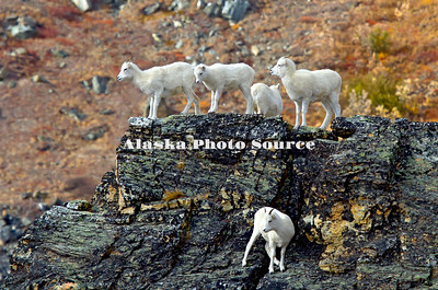 Alaska. Dall Sheep (Ovis dalli) gathering on a rocky outcropping in the colorful days of autumn in the mountains, Denali National Park.