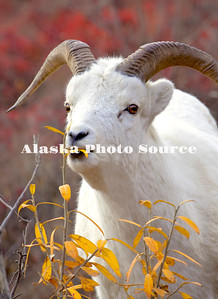 Alaska. Dall Sheep (Ovis dalli) in the colorful days of autumn in the mountains, Denali National Park.