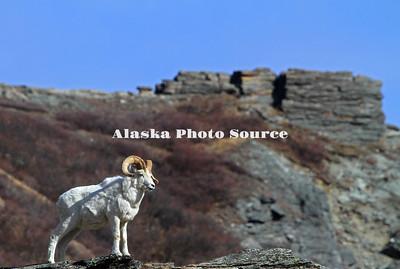 Alaska. Dall Sheep (Ovis dalli) ram surveying his domain along the rocky slope of the Savage River, Denali National Park.