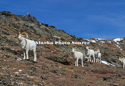 Alaska. Dall sheep (Orvis dalli) rams traveling together in the spring, Denali National Park.