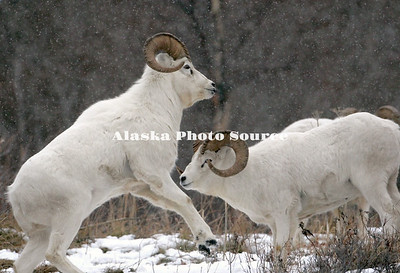 Alaska. Dall Sheep (Ovis dalli) rams head butting, Chugach Mountains.