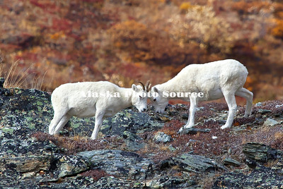 Alaska. Young Dall Sheep (Ovis dalli) rams mock fighting iin the colorful days of autumn in the mountains, Denali National Park.