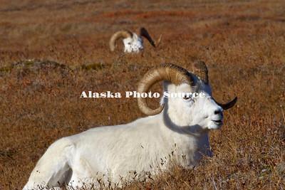 Alaska. Dall Sheep (Ovis dalli) rams resting on a mountain plateau, enjoying the autumn sunshine, Denali National Park.