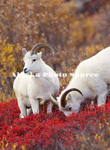 Alaska. Dall Sheep (Ovis dalli) in the colorful days of autumn in the mountains, eating blueberries, Denali National Park.