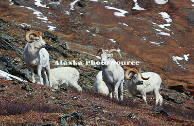 Alaska. Dall Sheep (Ovis dalli) rams searching for food along the rocky slope of the Alaska Range, Denali National Park.