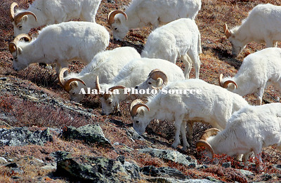 Alaska. Dall Sheep (Ovis dalli) rams grazing on the tundra in an orderly line along the mountainside, Denali National Park.