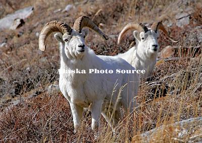 Alaska. Two Dall Sheep (Ovis dalli) rams feeding along the rocky slopes of the Savage River Canyon, Denali National Park.