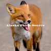 Alaska. Red Fox (Vulpes vulpes) walking on the park raod, Denali Natl. Park.